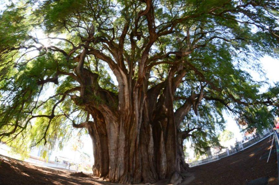 santa-maria-del-tule-nejsirsi-strom-sveta