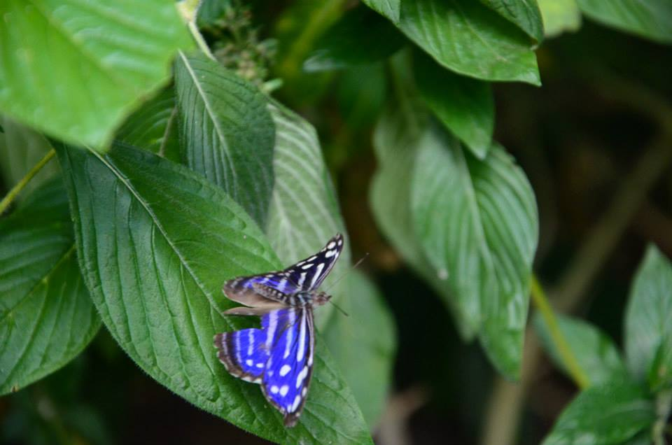 Kostarika motýly