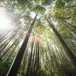 bambus růst